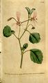 The Botanical Magazine, Plate 103 (Volume 3, 1790).png