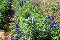 The Flower Fields at Carlsbad Ranch 54 2014-04-28.jpg