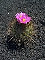 Thelocactus conothelos argenteus 01.jpg