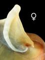 Theodoxus fluviatilis operculum female.png
