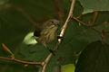 Thick-billed Flowerpecker (Dicaeum agile) on Helicteres isora W IMG 1362.jpg