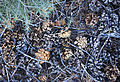 Thick cones under pinyon pine.jpg