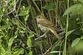 Thrush Nightingale - Uzbekistan S4E7772 (18740922584).jpg