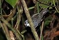 Thryothorus semibadius (Riverside Wren) (10657396044) (2).jpg