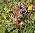 Thyme Broomrape. Orobanche alba (30369938767).jpg