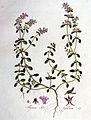 Thymus serpyllum — Flora Batava — Volume v1.jpg