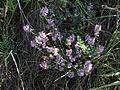 Thymus sp. in nature.jpg