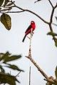 Tiê-sangue (Ramphocelus bresilius) - Brazilian Tanager.jpg