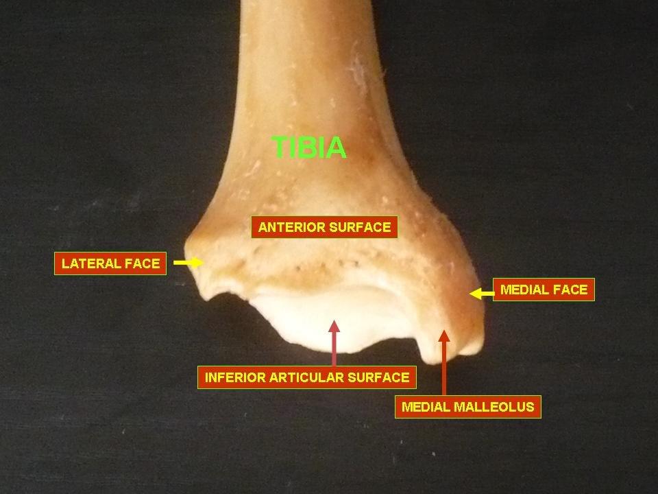 Tibia - inferior epiphysis (anterior view)