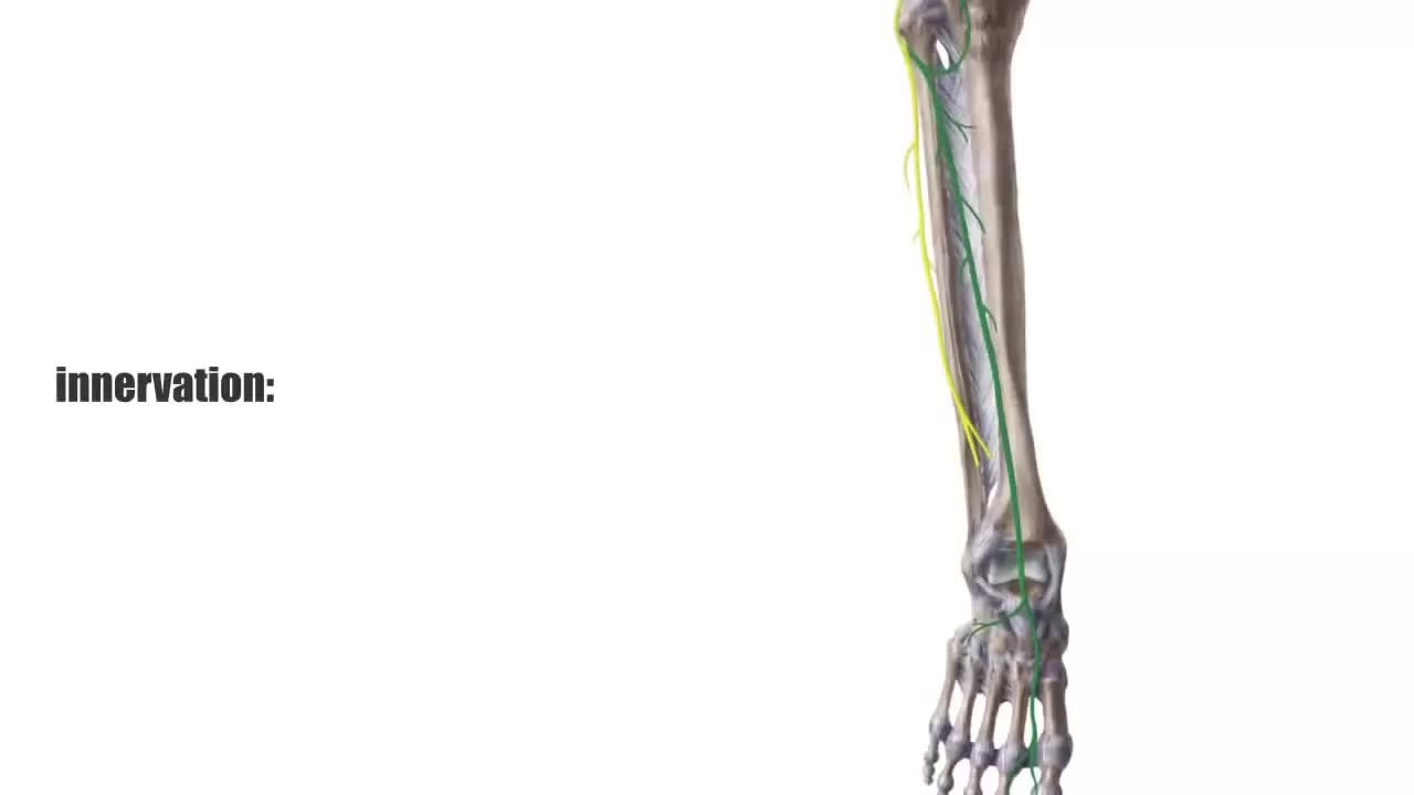 File:Tibialis Anterior Muscle - Origin, Insertion & Function - Human ...