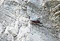 Tichodrome échelette Tichodroma muraria aDSC 0960a (51081466718).jpg