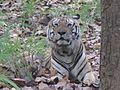 Tiger Munna.jpg