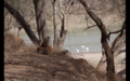 Tiger in Ranthambore 18.png