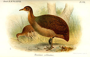 Solitary tinamou - Illustration by Joseph Smit, 1895