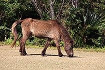 Tokara Pony 吐噶喇馬(トカラうま).jpg