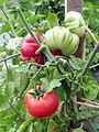 Tomate Trèfle du Togo P1020460.JPG