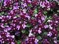 Tomillo rastrero - Thymus nervosus - Flores de los Pirineos (10510688194).jpg