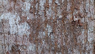 Toona calantas - Image: Toona calantas (Philippine mahogany) 5