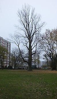 Topola smoleńskiego 4.jpg