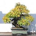 Toringo Crabapple bonsai 20, October 10, 2008.jpg