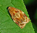 Tortricinae - Archips xylosteana.JPG
