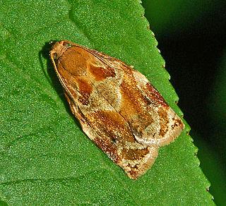 <i>Archips xylosteana</i> species of moth