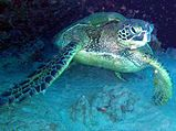 Tortue imbriqueeld03.jpg