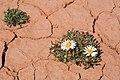 Townsendia annua - Flickr - aspidoscelis.jpg
