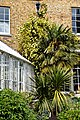Trachycarpus fortunei Chusan palm and Rosa banksiae 'Lutea', Lady Banks' rose at Myddelton House, Enfield, London.jpg