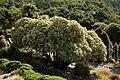 Tree Daisy - Olearia lyalli.jpg