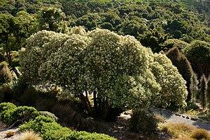 Olearia lyallii - Image: Tree Daisy Olearia lyalli