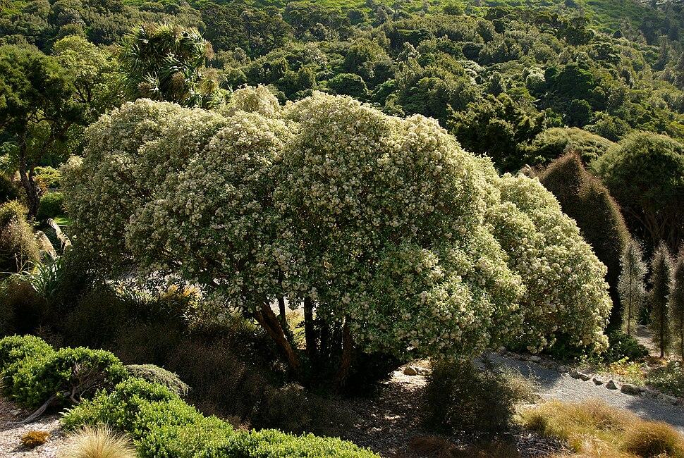 Tree Daisy - Olearia lyalli