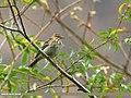 Tree Pipit (Anthus trivialis) (32940890470).jpg