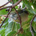 Treron calvus glaucus in Ficus lutea, Pietersburg, d.jpg