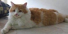 Kucing - Wikipedia Bahasa Melayu, ensiklopedia bebas