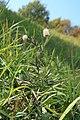 Trifolium arvense in natural monument Na Strazi in autumn 2011 (2).JPG