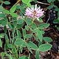 Trifolium medium G1.JPG