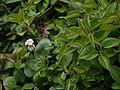 Trifolium repens (6367512171).jpg