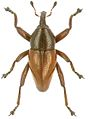 Trigonopterus rubiginosus holotype - ZooKeys-280-001-g071.jpg