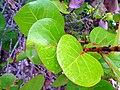 Tropical leaf - Flickr - Stiller Beobachter.jpg