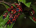 Tropidothorax leucopterus0.jpg