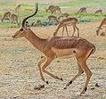Trotting impala ram, crop.jpg