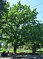 Tsiurupynsk Oaks' Clump 04 (YDS 0381).jpg