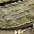 Tuatara tick close.jpg