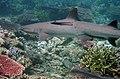 Tubbataha Shark.jpg