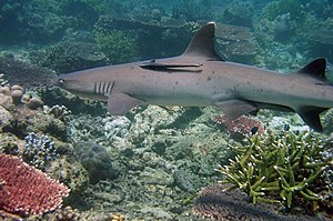 Sulu Sea - Shark found in the Tubbataha National Marine Park, Sulu Sea, Philippines