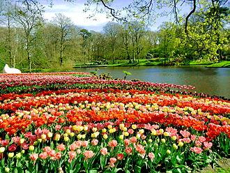 Keukenhof - Image: Tulip Hà Lan 8