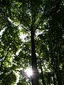 Tulip Tree 045.jpg