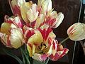 Tulipa cultivars - 1001.jpg