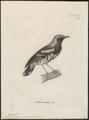 Turdus interpres - 1700-1880 - Print - Iconographia Zoologica - Special Collections University of Amsterdam - UBA01 IZ16300283.tif
